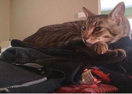 Clean laundry cat